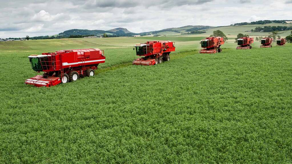 Vining pea harvest delayed due to coldweather
