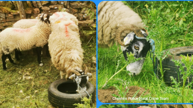 Police urge vigilance after would-be thieves tie sheep to tyres