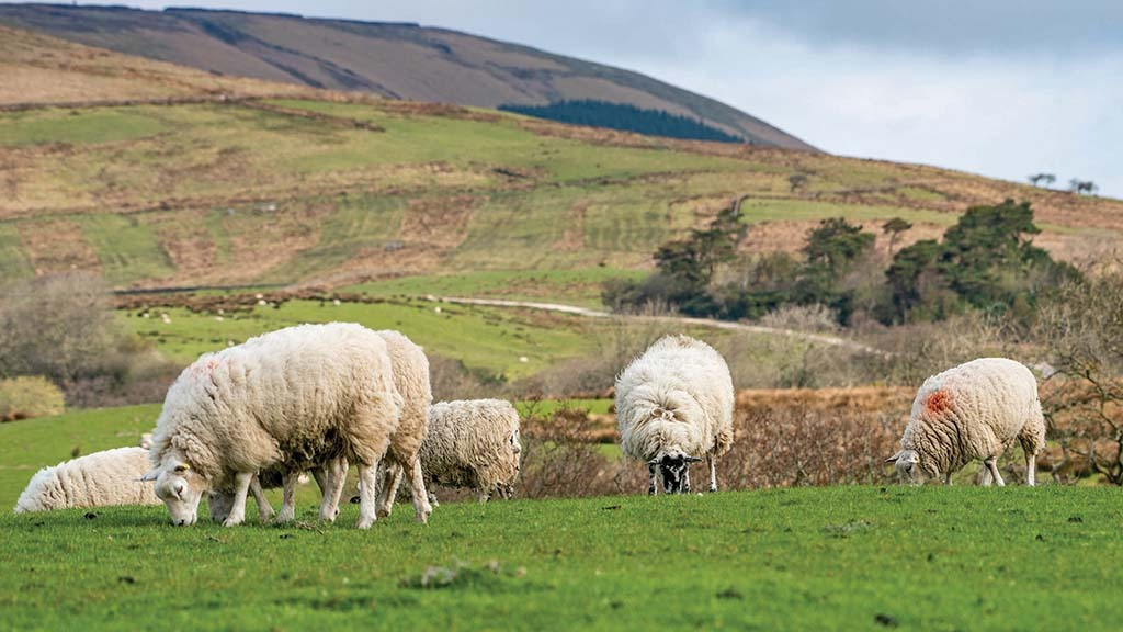 Sheep special: Plan ahead to make the most of the breeding season