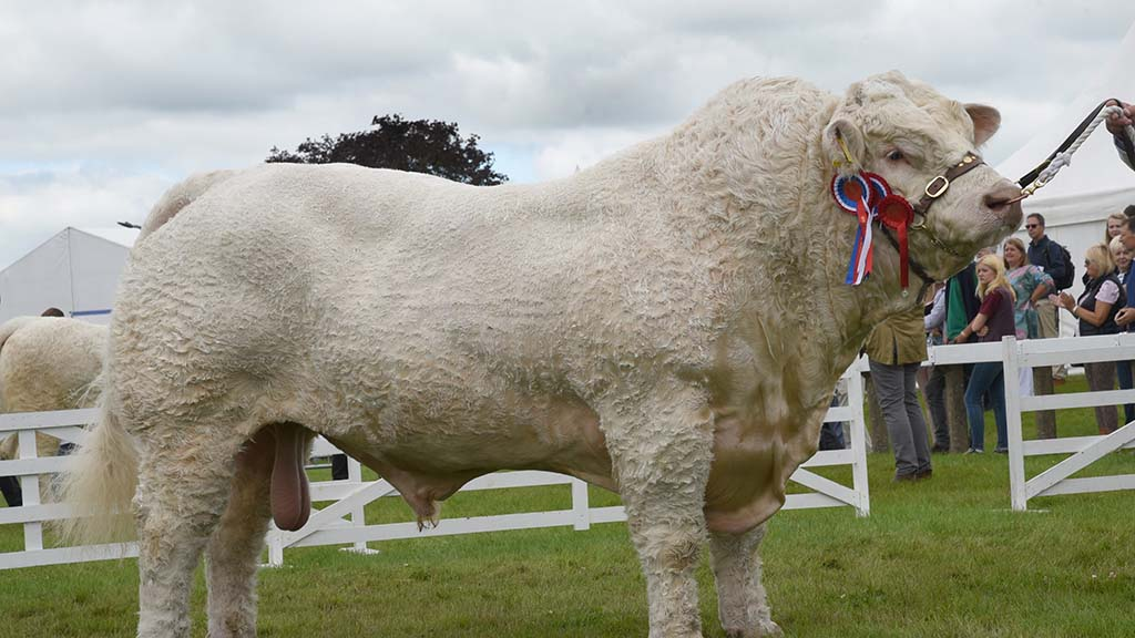 Charolais bull leads pedigree beef at Great Yorkshire Show
