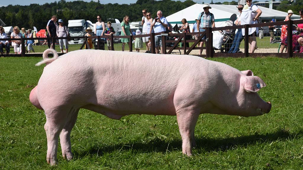 Top spot for Landrace at Great Yorkshire Show