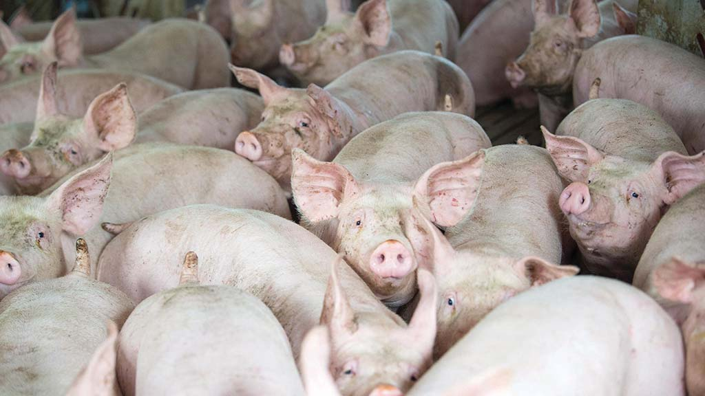 China export loss blamed as pig processor declares Scottish operation 'unsustainable'