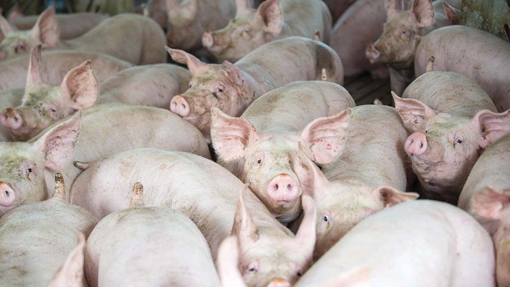 African swine fever poses looming threat to UK pork producers
