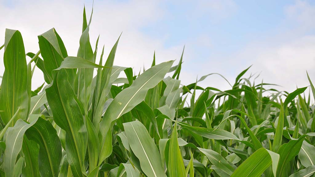 Making the most of maize