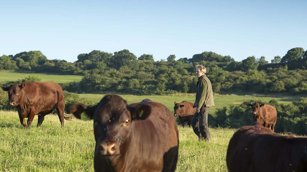Roly Puzey, tenant at Saddlescombe Farm with his cattle. Credit John Miller.