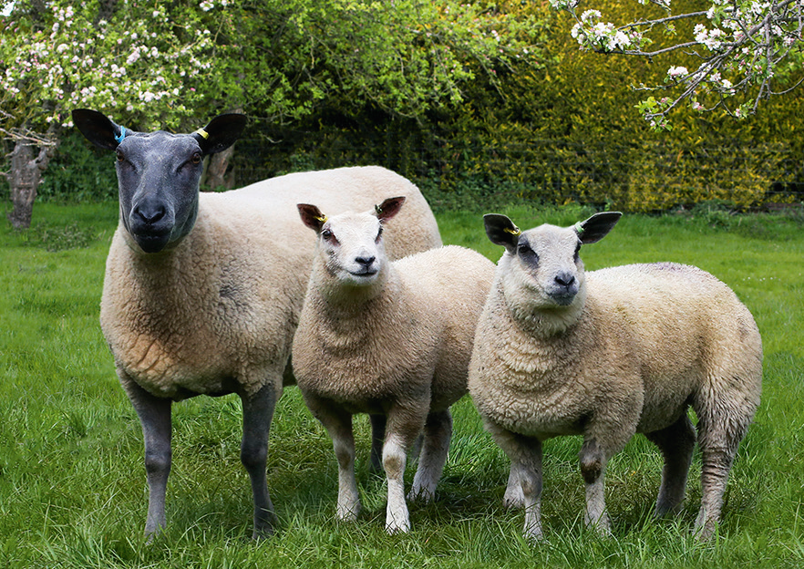 Test your skills and you could win £250 plus a £250 voucher in the 2021 Bleu du Maine Sheep Society stockjudging competition