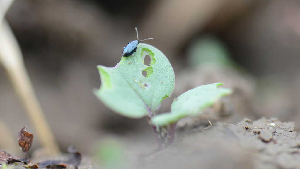 Funding boost for flea beetle research