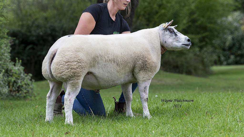 Averages up as Beltex top at 30,000gns