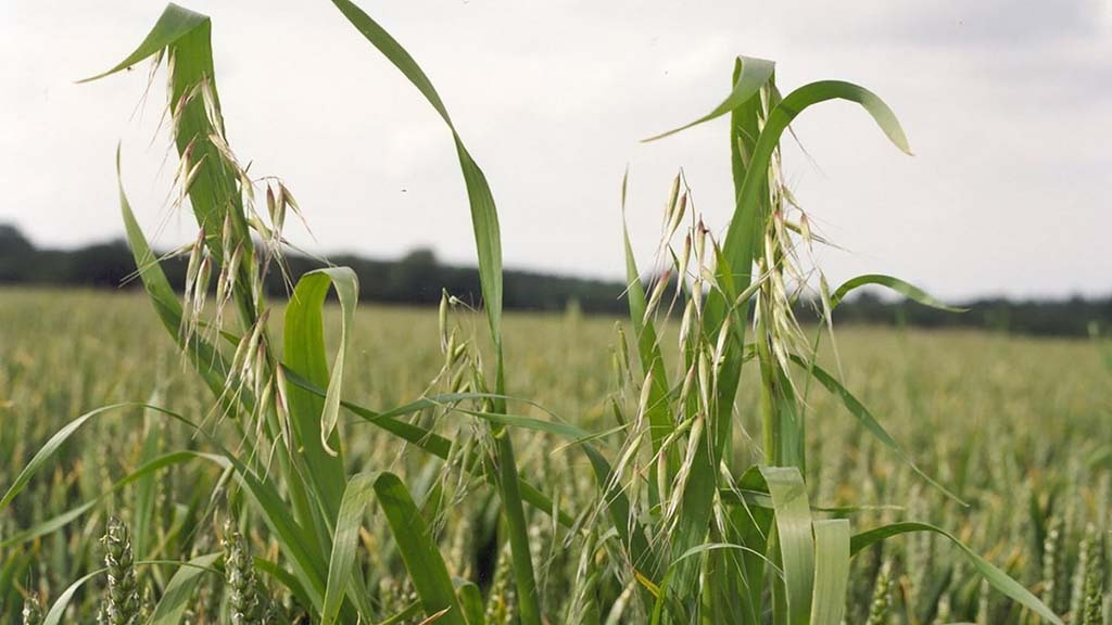 Top tips for tackling wild oats