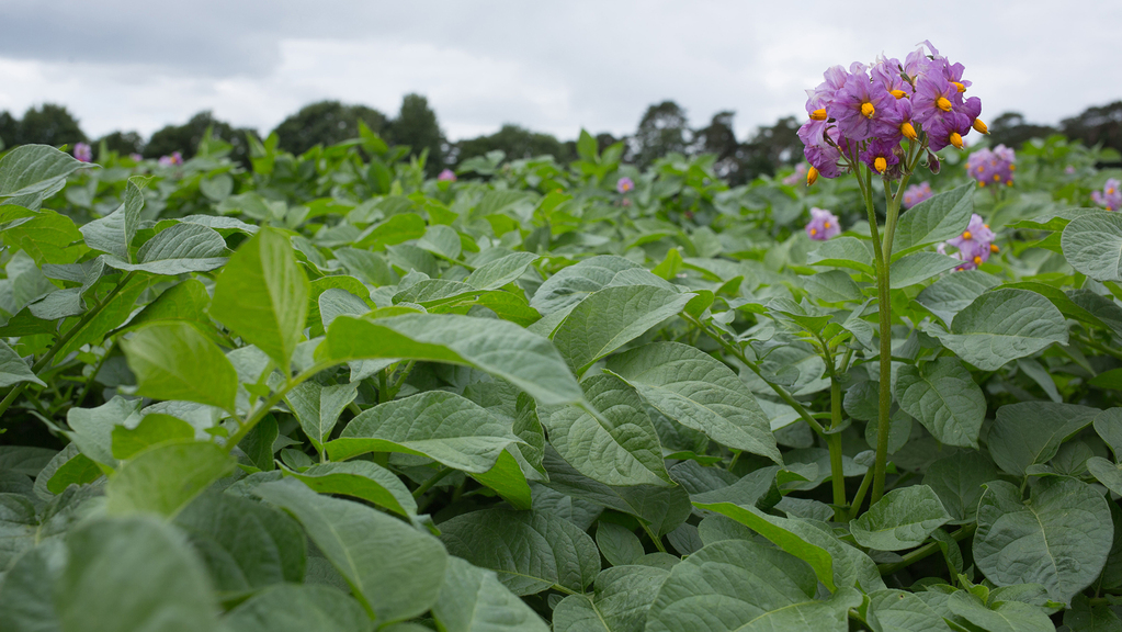 Weather woes hit potato crop