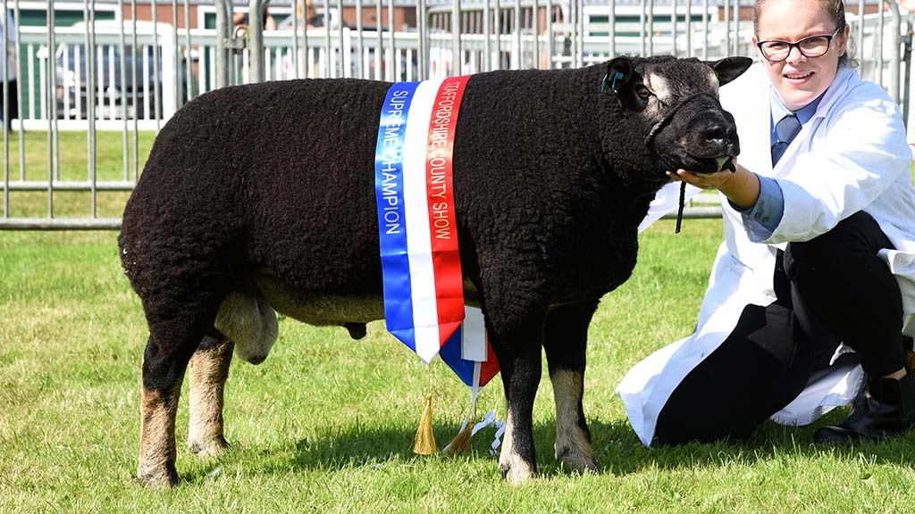 STAFFORDSHIRE SHOW 2021: Badger Faced Texel takes supreme on first time out
